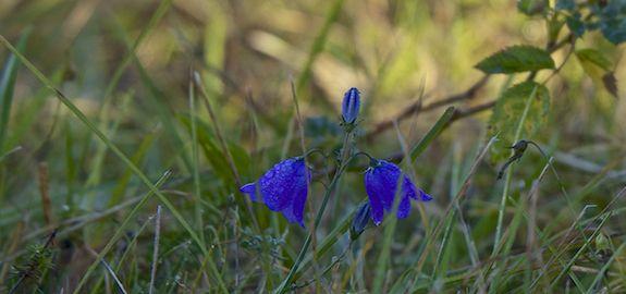 Små blå perler